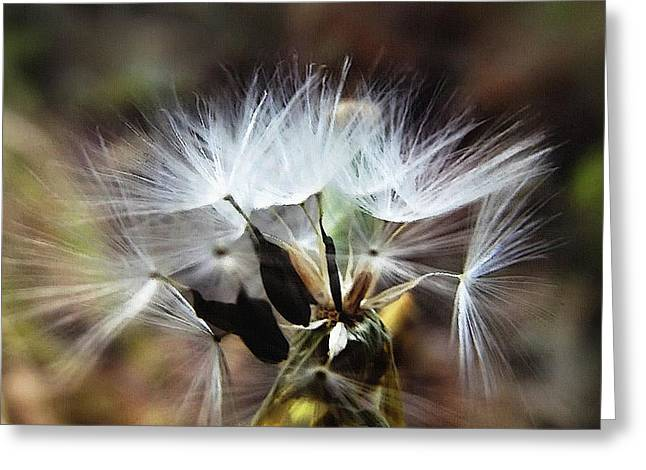 Ready To Fly... Salsify Seeds Greeting Card