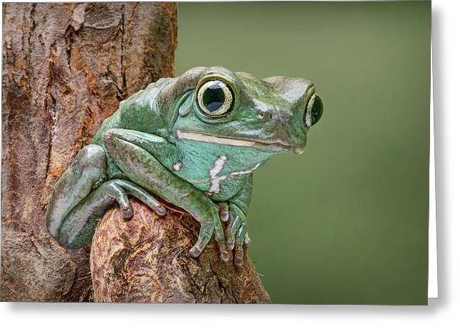 Ready To Walk - Waxy Monkey Tree Frog Greeting Card