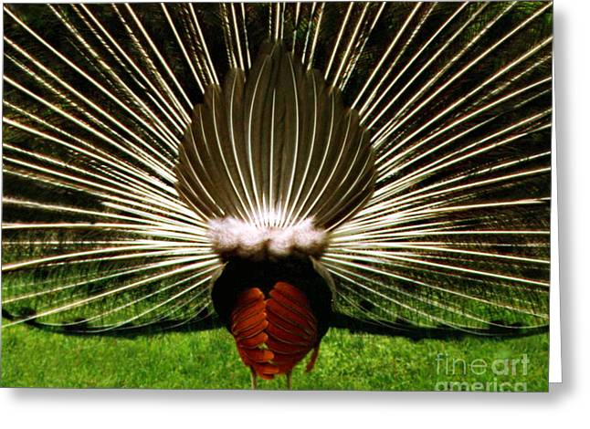 Greeting Card featuring the photograph Rear End Of Peacock In Full Aray by Merton Allen