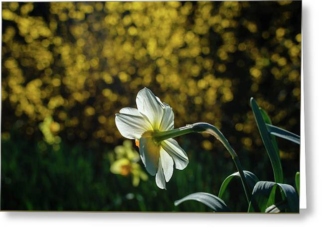 Rear View Daffodil Greeting Card