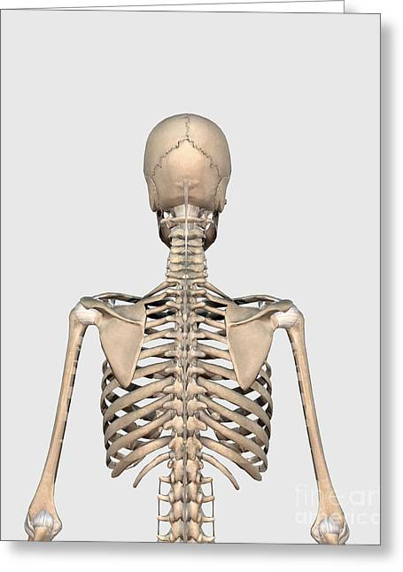 Rear View Of Human Skeletal System Greeting Card by Stocktrek Images