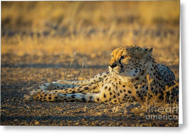 Reclining Cheetah Greeting Card by Inge Johnsson