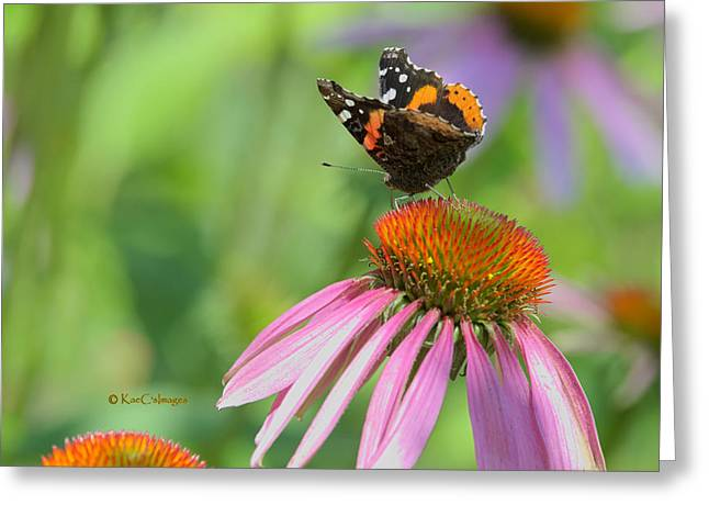 Red Admiral On Cone Flower Greeting Card