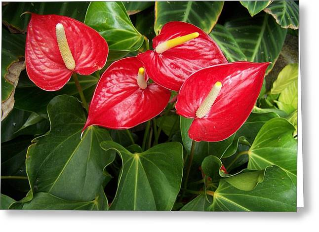 Red And Green Greeting Card by Constance Drescher