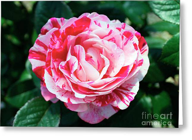 Red And Pink Floral Candy Rose Garden 490 Greeting Card