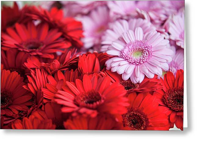 Red And Pink Gerberas Display Greeting Card by Jenny Rainbow