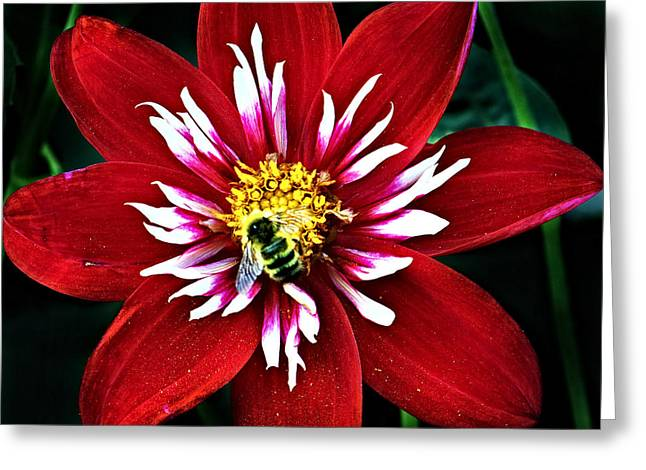 Red And White Flower With Bee Greeting Card