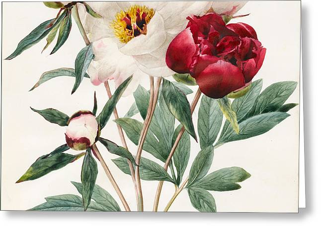 Red And White Herbaceous Peonies Greeting Card