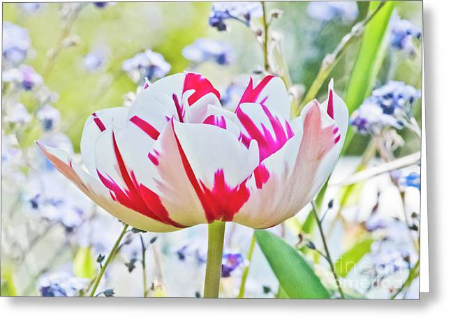 Red And White Tulip Greeting Card by Terri Waters