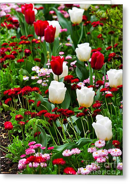 Red And White Tulips With Red And Pink English Daisies In Spring Greeting Card by Louise Heusinkveld