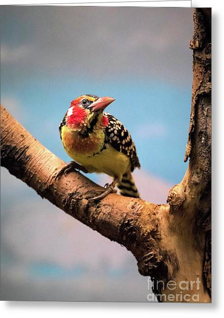 Red And Yellow Barbet Greeting Card