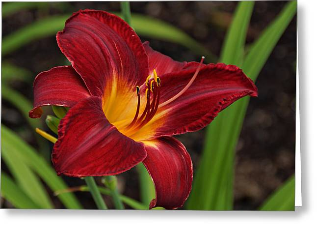Red And Yellow Daylily Greeting Card by Sandy Keeton