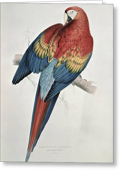 Red Claws Greeting Cards - Red and Yellow Macaw  Greeting Card by Edward Lear