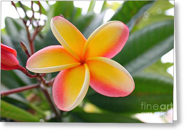 Red And Yellow Plumeria Greeting Card