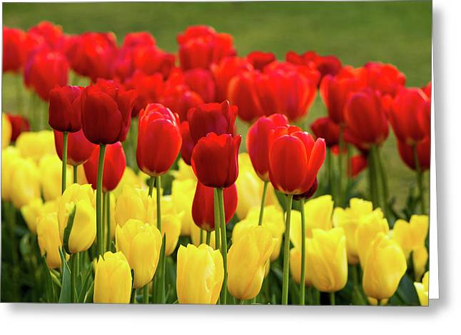 Greeting Card featuring the photograph Red And Yellow Tulips by Mary Jo Allen