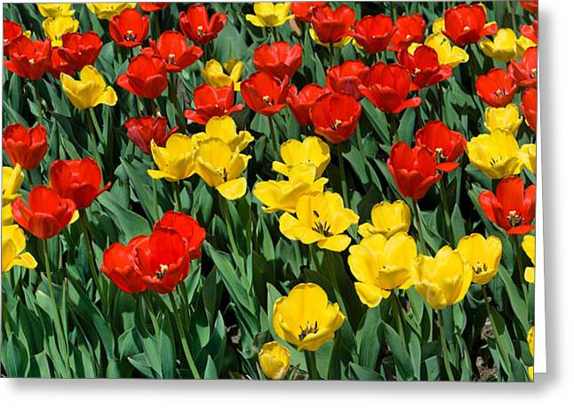 Red And Yellow Tulips  Naperville Illinois Greeting Card