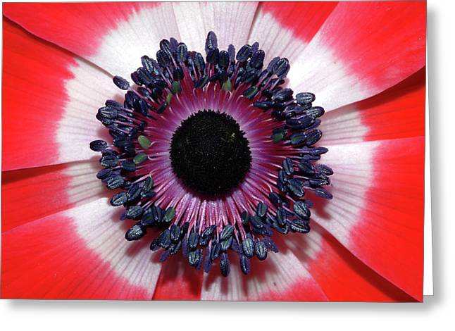 Red Anemone V2 Greeting Card