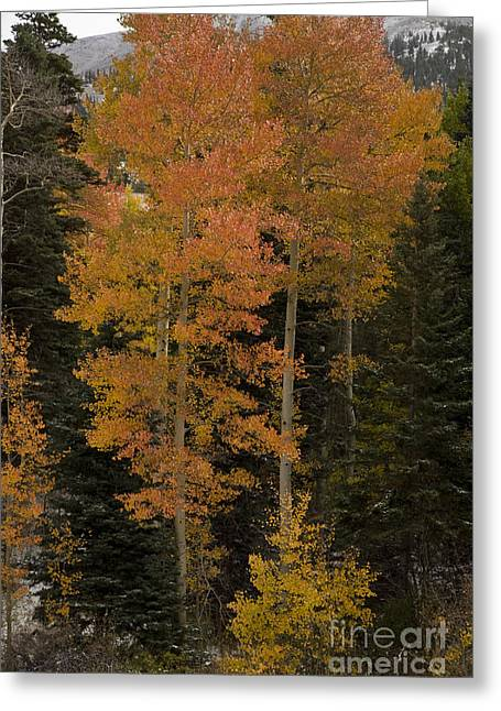 Red Aspens Greeting Card