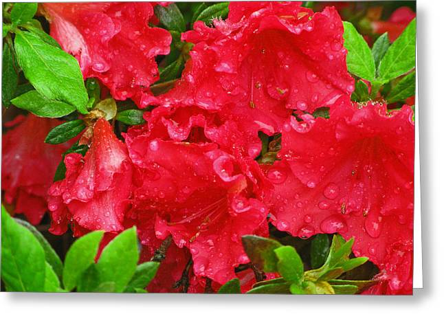 Red Azaleas Greeting Card by Richard Singleton