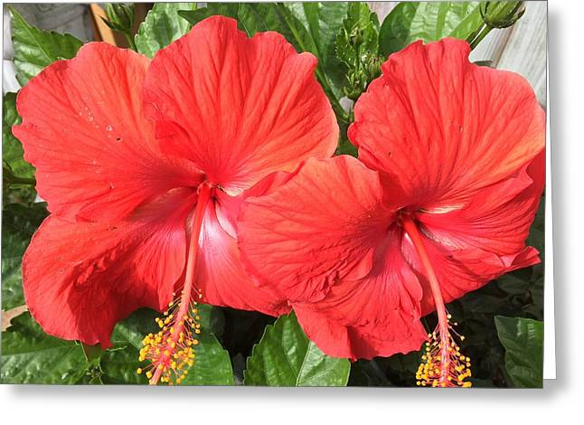 Red Beauties Greeting Card