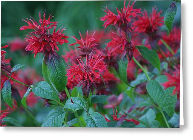 Greeting Card featuring the photograph Red Bee Balm by Ron Read