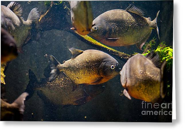 Red Bellied Hungry Piranha Greeting Card by Arletta Cwalina