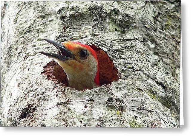 Woodpecker Greeting Cards - Red-bellied Woodpecker 02 Greeting Card by Al Powell Photography USA