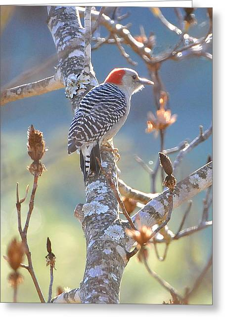 Red Bellied Woodpecker Greeting Card by Alan Lenk