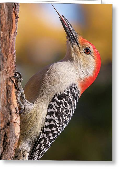 Red Bellied Woodpecker's Toolkit Greeting Card