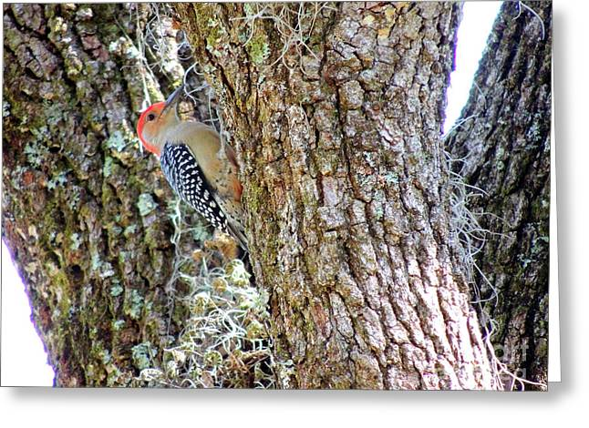 Red-bellied Woodpecker By Bill Holkham Greeting Card by Bill Holkham