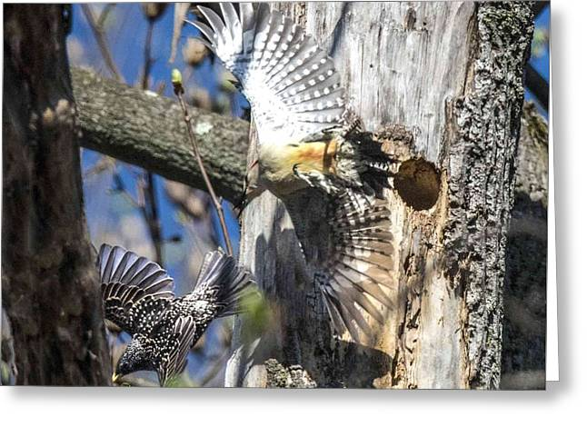 Red Bellied Woodpecker Chasing An Attacking Starling Greeting Card