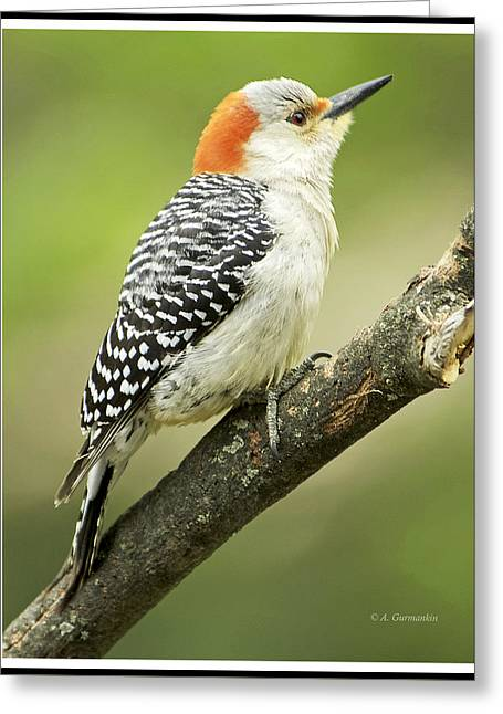 Red Bellied Woodpecker, Female On Tree Branch Greeting Card