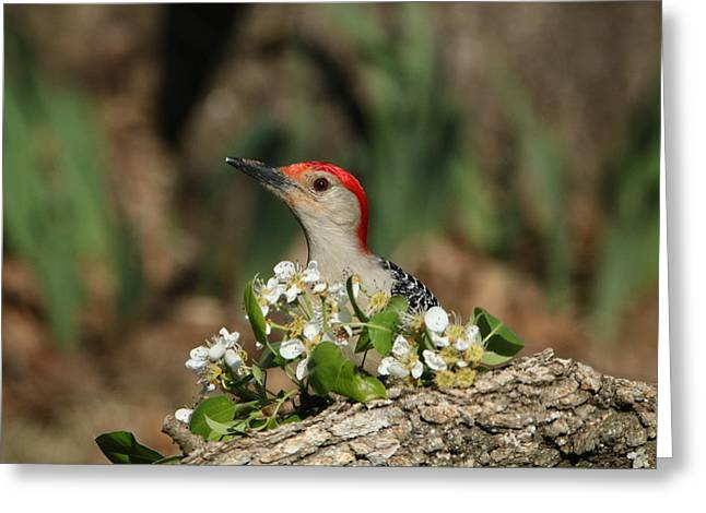 Red-bellied Woodpecker In Spring Greeting Card