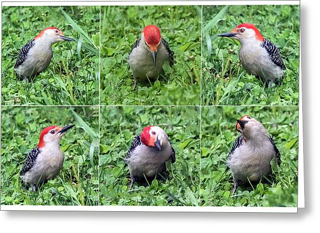 Red-bellied Woodpecker Posing In The Grass Greeting Card