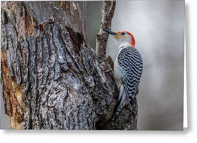 Greeting Card featuring the photograph Red Bellied Woody by Paul Freidlund