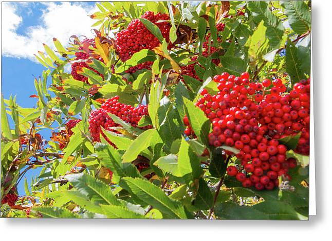Red Berries, Blue Skies Greeting Card