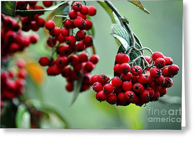 Red Berries Greeting Card by Clayton Bruster
