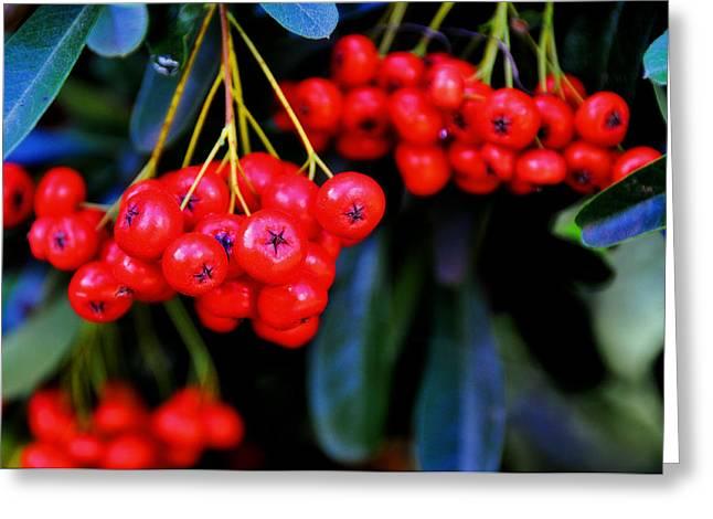 Red Berries Greeting Card by Lyle  Huisken