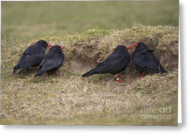 Red-billed Choughs Greeting Card by Michael Durham/FLPA