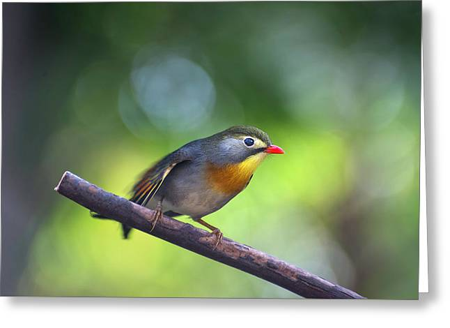 Red Billed Leiothrix Greeting Card
