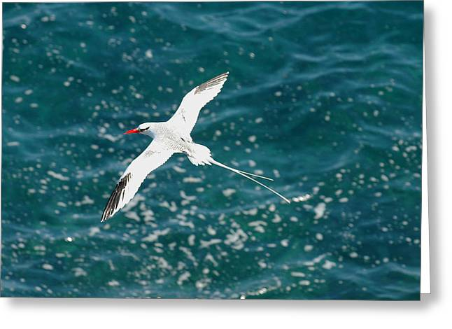 Red Billied Tropic Bird Greeting Card by Alan Lenk
