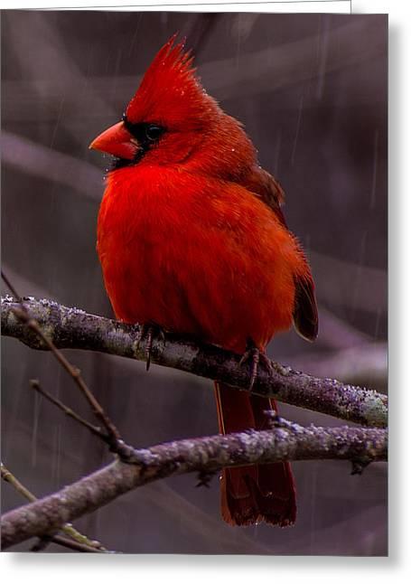 Red Bird Greeting Card