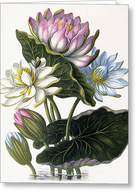 Red, Blue, And White Lotus Flowers Greeting Card