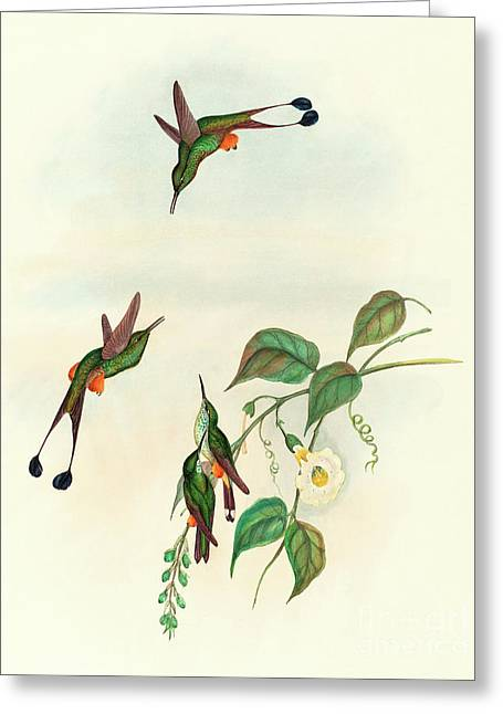 Red Booted Racket Tail Greeting Card by John Gould