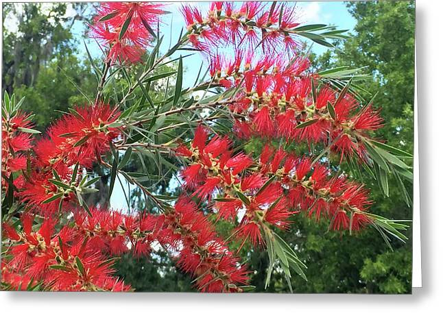 Red Bottlebrush Greeting Card by Aimee L Maher Photography and Art Visit ALMGallerydotcom