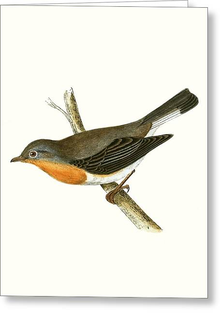 Red Breasted Flycatcher Greeting Card by English School