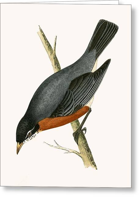 Red Breasted Thrush Greeting Card by English School