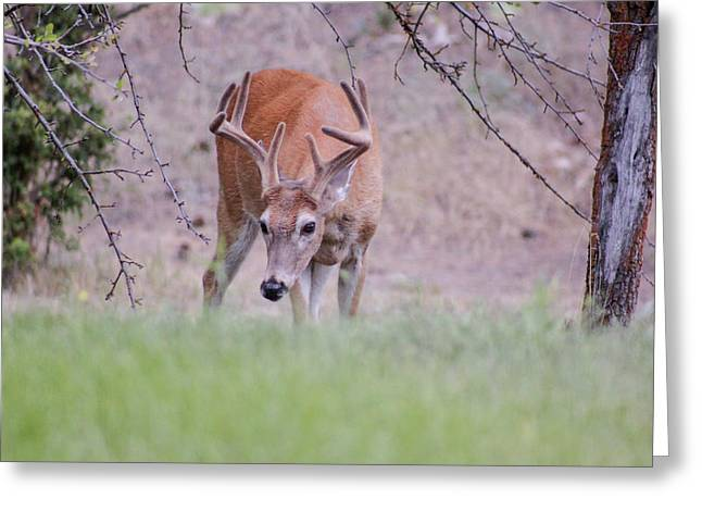 Greeting Card featuring the photograph Red Bucks 6 by Antonio Romero
