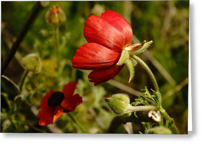 Red Buttercup Greeting Card
