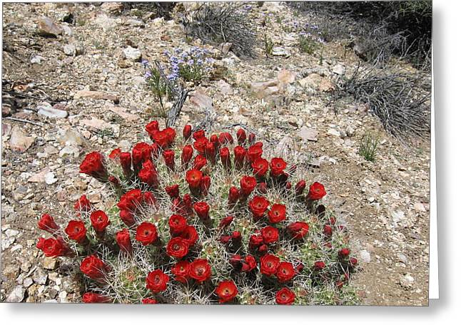 Red Cactus Flowers Greeting Card by Joan Taylor-Sullivant
